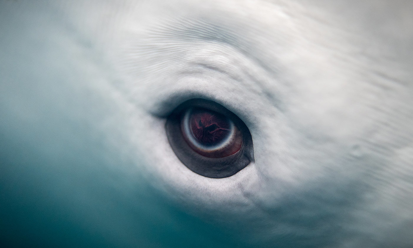 The eye of the Beluga whale. <em>Eric Kilby/Flickr</em>