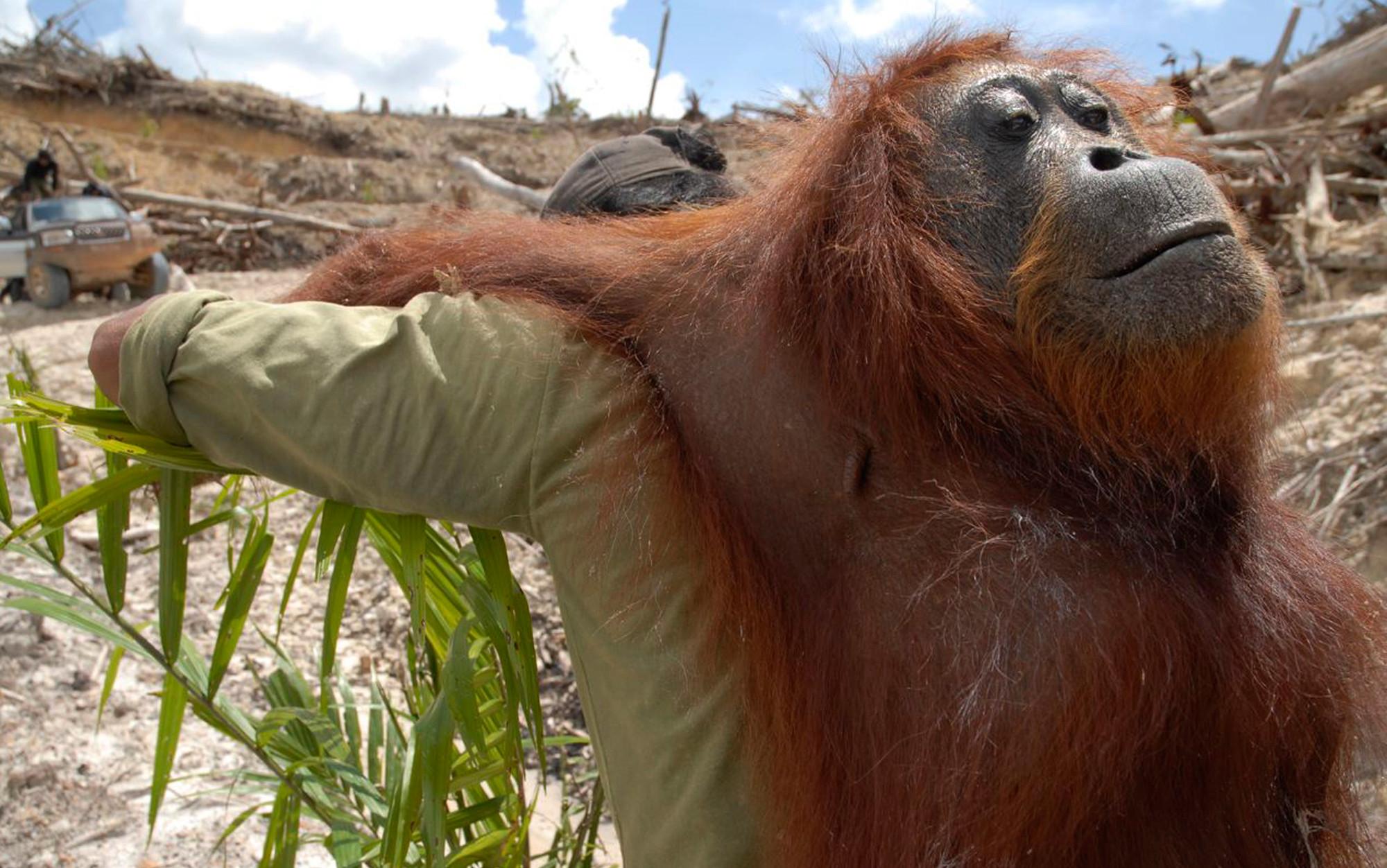 The orangutan trap | Aeon