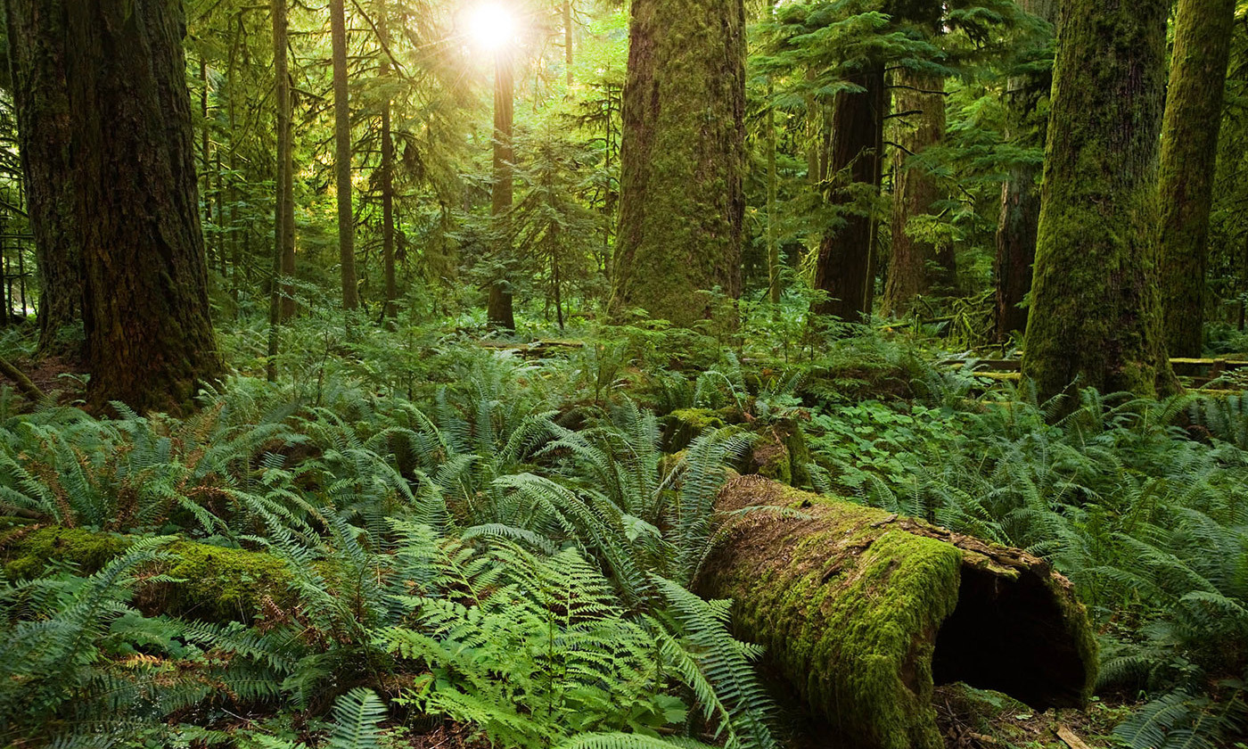 <p>The protected Cathedral Grove, British Columbia, Canada. <em>Photo courtesy Sang Trinh/Flickr</em></p>