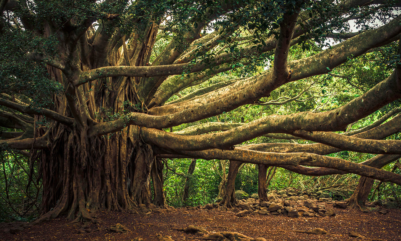 <p>A banyan tree. <em>Photo by thomas/Flickr</em></p>