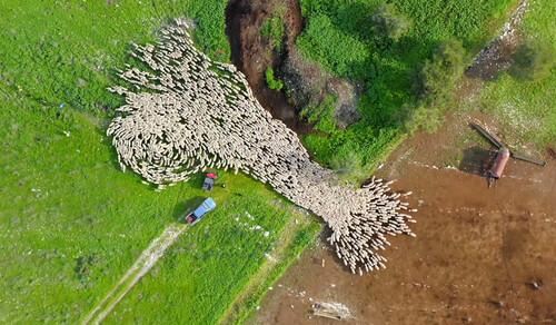 Aerial sheep herding in Yokneam | Aeon