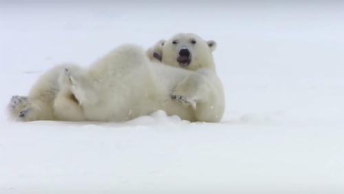 Card how to play like polar bears main