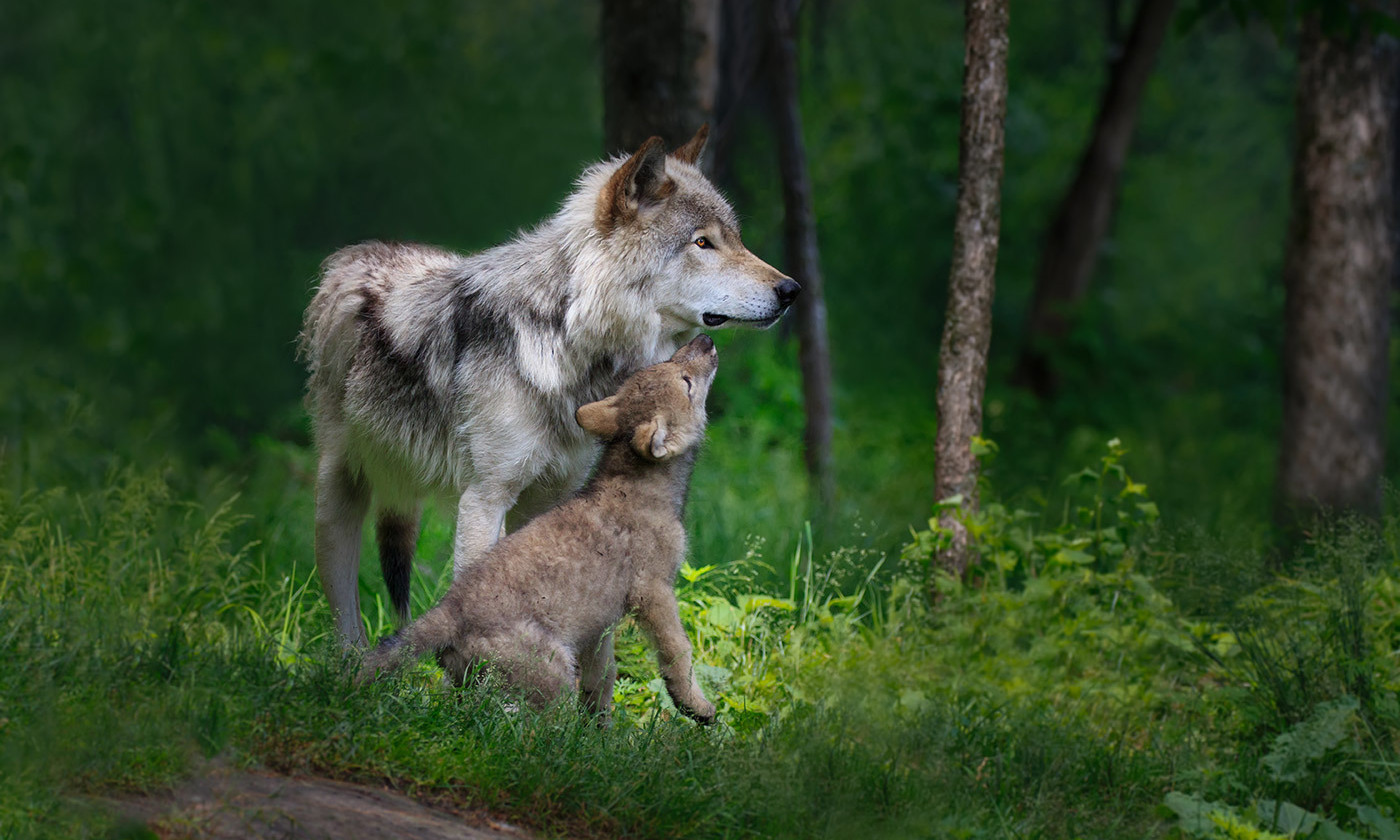 <p>A female wolf and her pup in Canada. <em>Photo by Enn Li Photography/Getty</em></p>