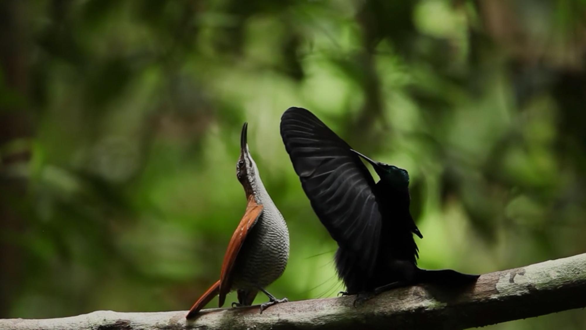 Riflebird dating websites