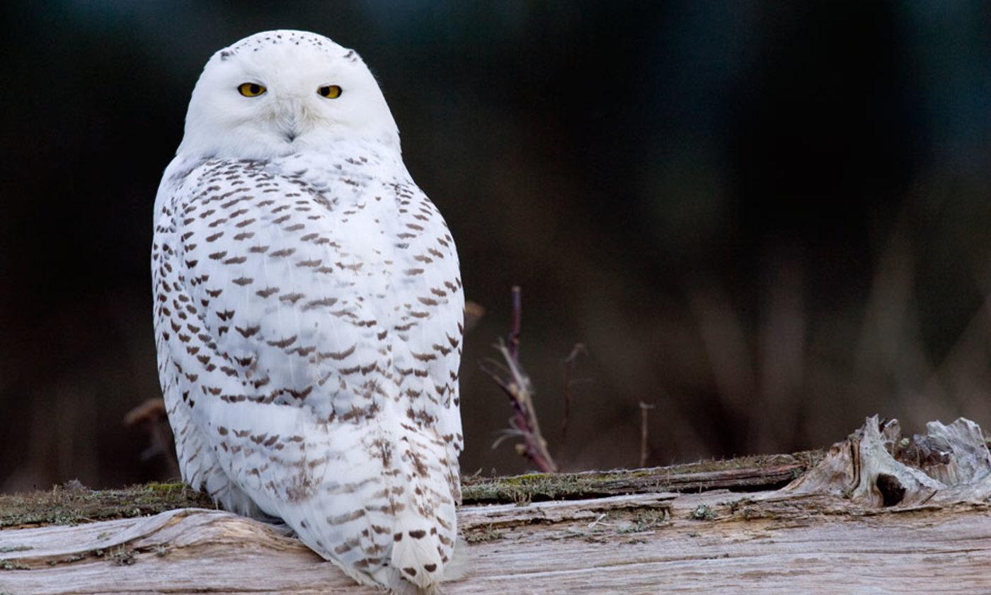 The snowy owl | Aeon