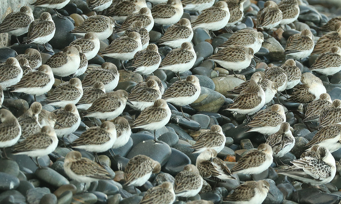 <p>Nature's wonder: semipalmated sandpipers on the coast of Maine in October 2018. <em>Photo by Alan Schmierer/Flickr</em></p>